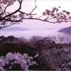 【竹田城】桜2017の開花時期や見ごろについて