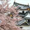 【彦根城】桜2017の時期や見頃はいつ?