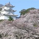 【明石城】桜2017のライトアップは何時から?開花情報も必見!