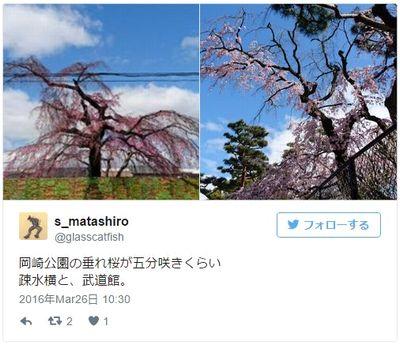 岡崎城 開花