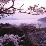 桜の見ごろ