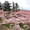 【高遠城】桜2017の混雑状況や渋滞回避について