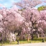【二条城】桜2017!!ライトアップの時間帯や見ごろはいつ?