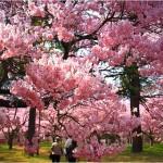 【高遠城】桜2017の開花予想や見ごろはいつ?