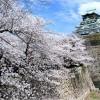 【大阪城】桜2017の見ごろや開花状況について